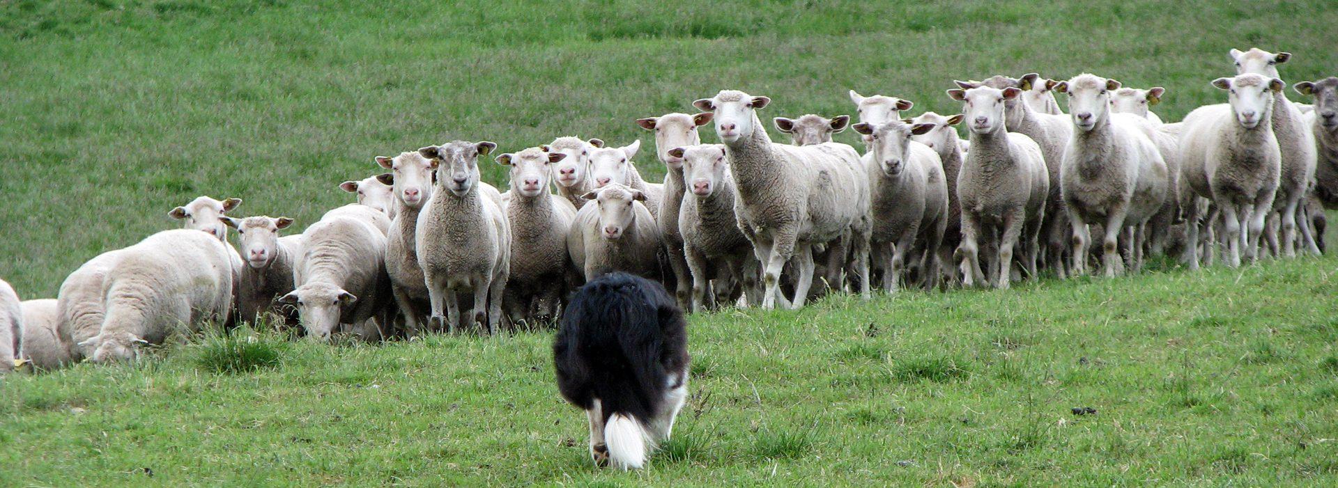 Norrbottens Vallhundsförening